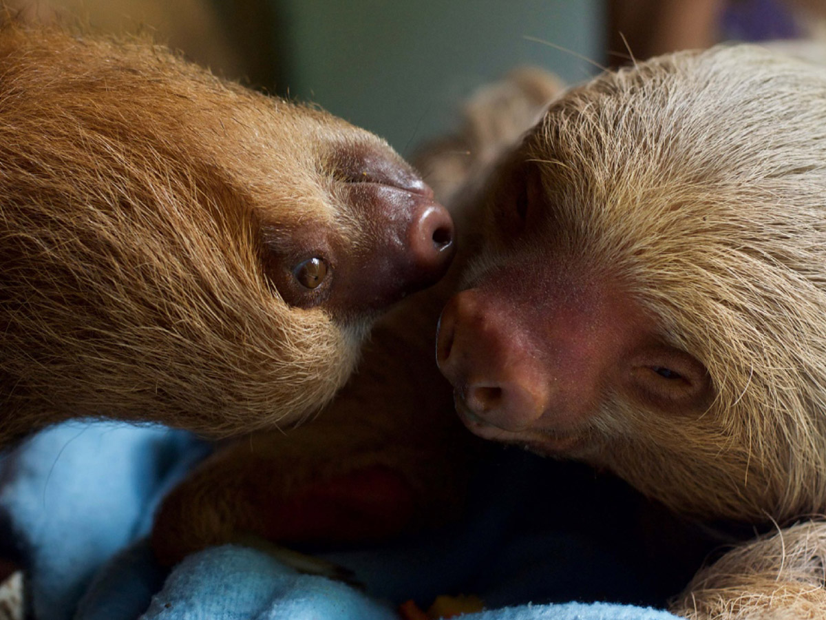 5 reasons to volunteer with animals-sloths volunteer abroad givingway