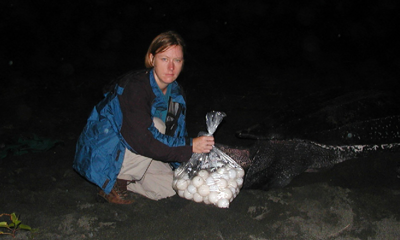 Givingway volunteers rescue and protect sea turtles night patrol turtle nest relocation
